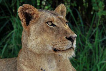 signification tableau lion